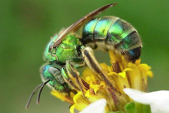 sweat bee Abeilles de la sueur (Abeilles halictidæ ou « sweat bee »)  © Sean McCann  Cette famille regroupe les abeilles que l'on dit « attirées par la sueur » que l'on retrouve partout dans le monde sauf en Australie et en Asie du sud-est. Source : notre-planete.info, http://www.notre-planete.info/actualites/3902-douleur-piqure-guepe-fourmi-abeille