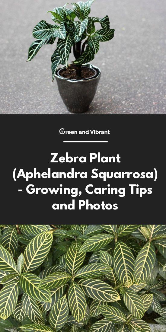 on aphelandra houseplant