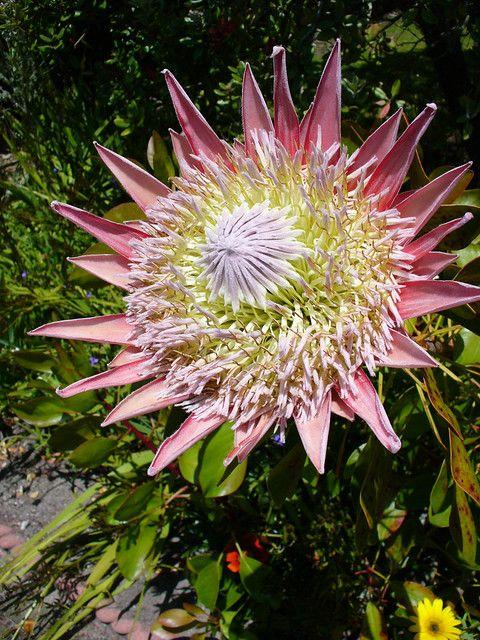 Protea Cynaroides 1 In 2020 Tresco Abbey Gardens Farmhouse Garden Garden