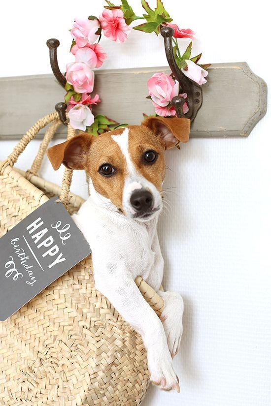 Happy Birthday From Annie Jack Russell Dogs Jack Russell Puppies Jack Russell