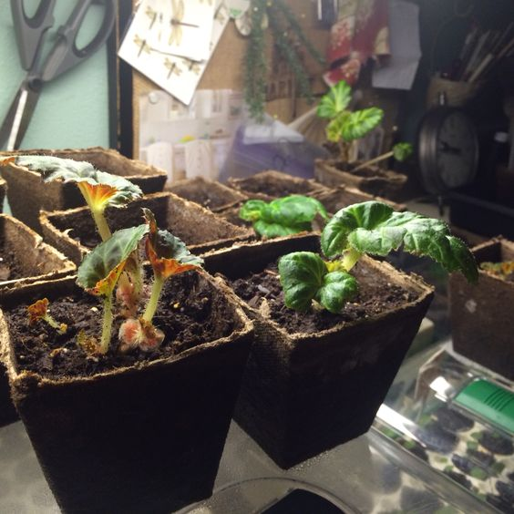 The begonia bulbs are growing & leafing out quickly - next week I will move them out of my utility room to the little farmhouse greenhouse & then they will take off with gusto ---