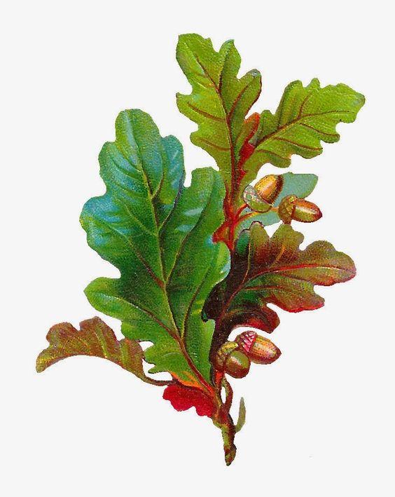 Antique Images: Free Acorn Clip Art: Digital Scrap of Acorn and Oak Leaves Digital Image