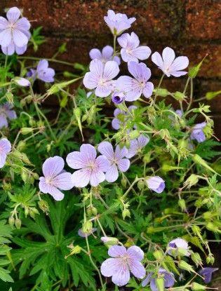 Geranium 'Blue Cloud' Hardy geranium