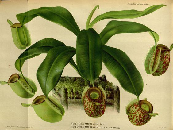 Nepenthes ampullaria var. vittata major - circa 1871