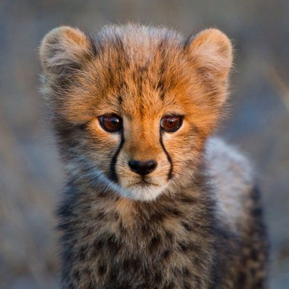Baby cheetah. Some things are just too precious