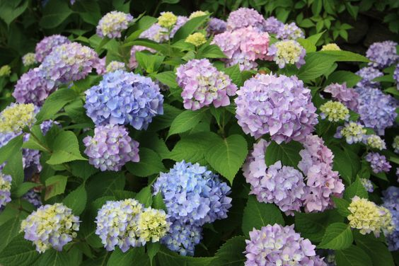 we love hydrenga! by Fairfield House & Garden: Flowers Gardens, Flowers Plants, Fave Flowers, Shupe S Flowers, Beautiful Flowers, Plants Gardens, House Gardens, Butterflies Flowers, Amazing Gardens