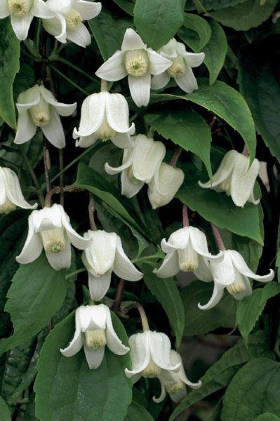 Clematis urophylla 'Winter Beauty' - The wax-like, creamy-white sepals, which surround a prominent boss of cream anthers, emerge from pale green buds and become paler, and more flared at their tips as they mature. These small, nodding, urn-shaped flowers contrast well with the rich green foliage.