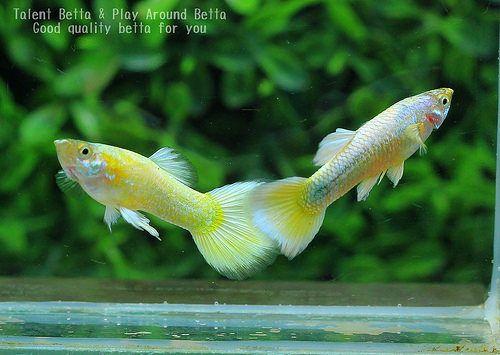 Full Gold Fresh Water Fish Tank Guppy Guppy Fish