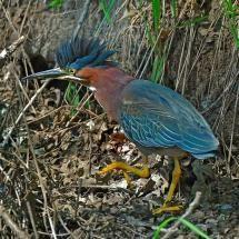 Green Heron (Butorides virescens); Photo by: Fritz Wilhelm