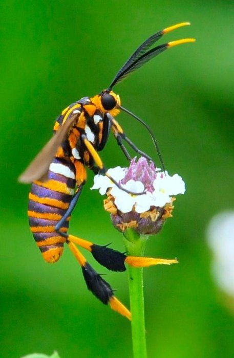 TEXAS WASP MOTH Horama panthalon Source: NABA Facebook Photo: Troy Zurovec, The Texas Wasp Moth is a mimic that has adopted a strategy of looking like a wasp to defend itself during its daily travels.