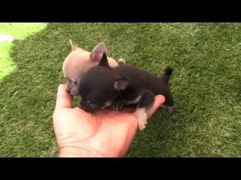 Videos Cachorros Chihuahuas Muy Pequenos Youtube Chihuahua