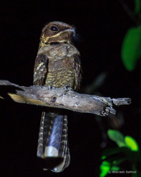 Jerdon's #nightjar #wildindiaecotours #wildindia #photography #pench #birds #birdphotography #birdwatching #india http://ift.tt/2hz29nV