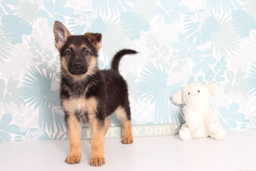 German Shepherd Dog Puppy For Sale In Naples Fl Adn 66308 On Puppyfinder Com Gender Female Age 9 Weeks Old
