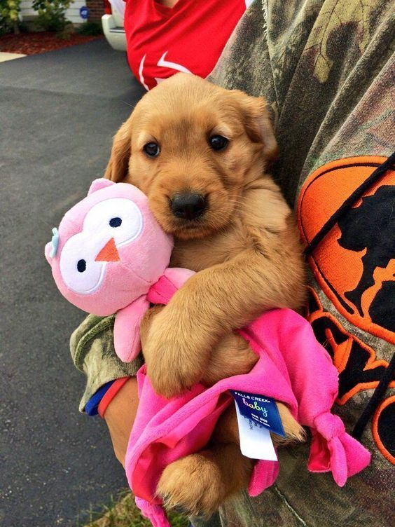 Golden Retriever Puppies Cute Pictures And Facts Cute Little