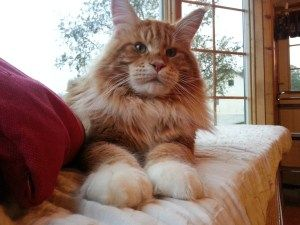 Pin Di Maine Coon