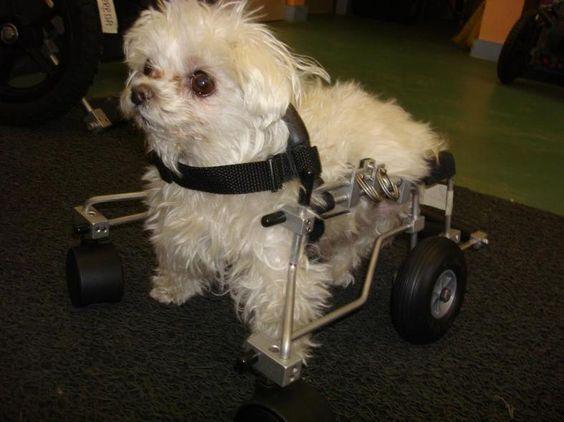 Maltese-on-wheels