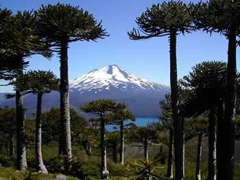 Parque Nacional Conguillio, Chile. Volcán Llaima, araucaria trees.