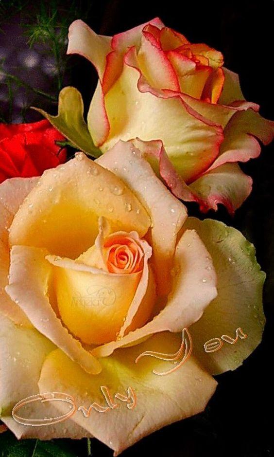 Rosas y amor para ti....Cada flor fragante nos está contando los secretos del Universo. (Rumi):