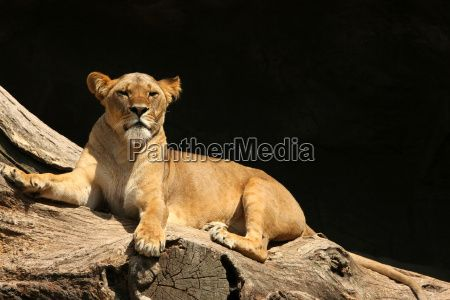 Image no - 1319739 - Lioness