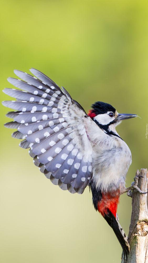 Dzięcioł z rozpostartymi skrzydłami - Tapeta na telefon