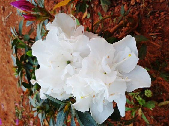 Família: Ericaceae.    Nomes populares: azaléia, azaléia-belga.    Etimologia: do grego rhodos, 'rosa' e dendron, 'árvore'.    Origem: China.  Características gerais: arbusto lenhoso, muito florífero, formado por hibridações e seleção entre várias espécies. Apresenta altura de 1,0 a 2,0 m, folhas decíduas ou semi-decíduas. As flores são variadas e coloridas: brancas, vermelhas, arroxeadas, róseas, simples ou dobradas; e surgem no outono-inverno, durando até a primavera.