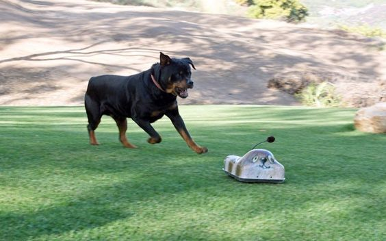 A rottweiler chases a Go-Go Dog Pals remote controlled toy in California. Owners can make the toy look like animals such as squirrels, rabbits, turtles, and porcupines. The toy can power along grass, gravel, dirt and concrete at 22mph, encouraging dogs to chase the device, giving them all the exercise they need. gogodogpals.com //   Picture: Go-Go Dog Pals / Rex Features