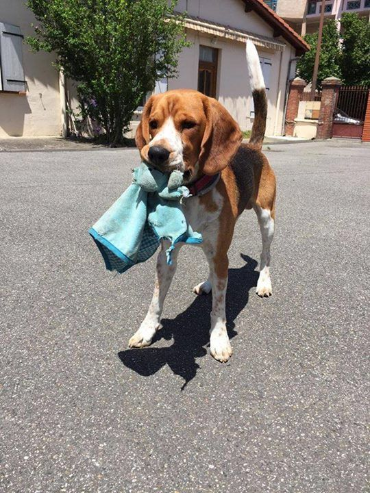 Rags Are Just Toys To Beagles Courtesy Of Margaux Beagle Dogs