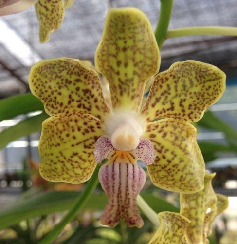 vanda tessellata x vanda denisoniana orchidee stark z zt. Black Bedroom Furniture Sets. Home Design Ideas
