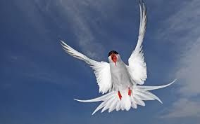 Image result for arctic tern