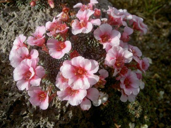nunavut flower purple saxifrage