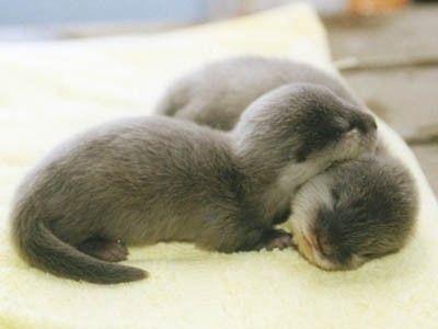 Baby otters cuddling!