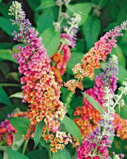 Buddleja x weyeriana 'Bicolor'  According to DD Nursery, it takes FULL SHADE. Big bodacious flowers in the shade!!!