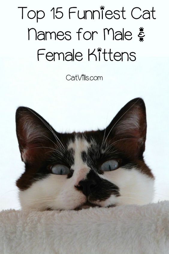 Top 15 Funniest Cat Names For Male Female Kittens Catvills Funny Cat Names Cute Cat Names Cat Names