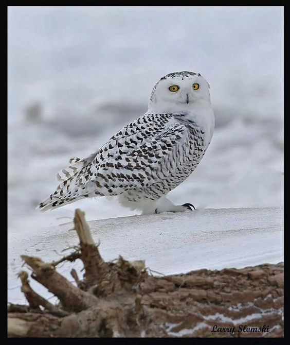 Presque Isle Snowy Owl