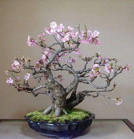 Bonsai Trees Mean Inner Peace Serenity And Contentment Cherry Blossom Bonsai Tree Flowering Bonsai Tree Bonsai Tree Care