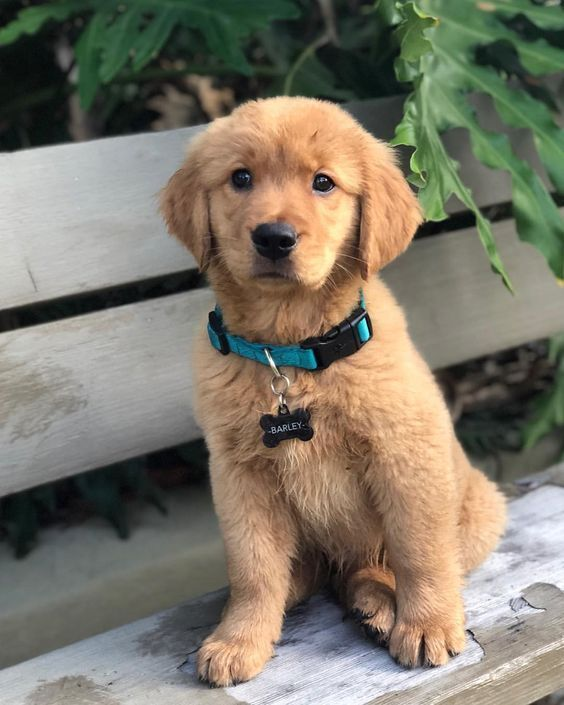 Golden Retriever Puppy Barley Retriever Puppy Dogs Golden