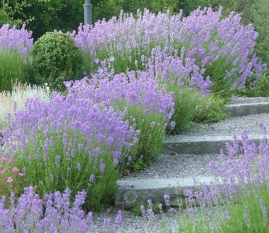 lavender banks garden allotment outside pinterest jardin en terrasse jardins et voies de. Black Bedroom Furniture Sets. Home Design Ideas