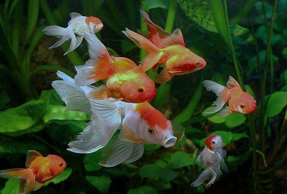 Feng shui tips feng shui cures goldfish bagua mirrors for Koi fish wind chime