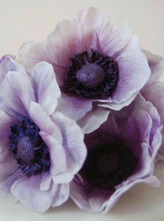 Pin By Mona Moni On Anemone Purple Flowers Anemone Flower Anemone