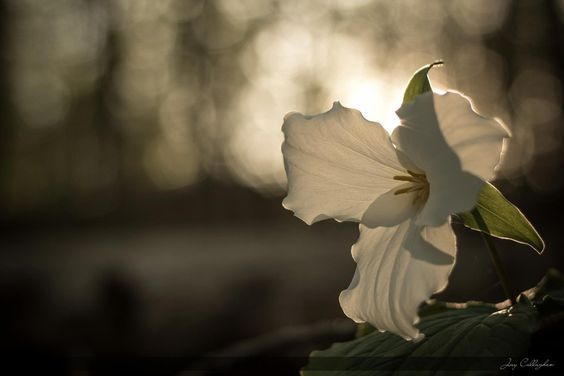 Fading sunlight on a Trillium flower in the forest