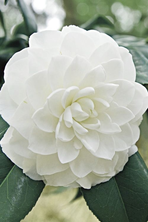 Buy White By The Gate Camellia Free Shipping Bushes For Sale Online From Wilson Bros Gardens Flowering Bushes Flower Beauty Beautiful Flowers