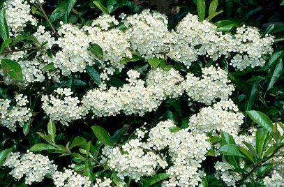 Green bush with small white flowers small white flowers stock image shrubs mightylinksfo Images