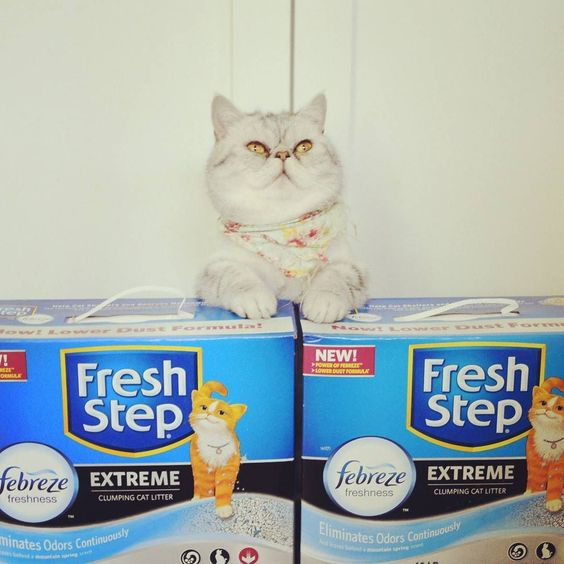 Extreme Eggs is Extremely Happy with his Extreme formula @FreshStep with Febreze from @Walmart. Daddy this smells like your Mountain Springs body soap! #freshstep #catsofinstagram @Walmart #ad #sp