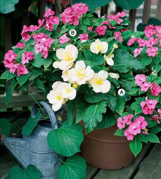 Bordering the back yard patio edge?     A colorful combination of easy-flowering plants that will remain attractive all summer long for a bright way to add interest to any shaded corner of your garden.        A. Tuberous begonia (Begonia 'Scentiment Blush') -- 1      B. Impatiens 'Accent Watermelon' -- 3
