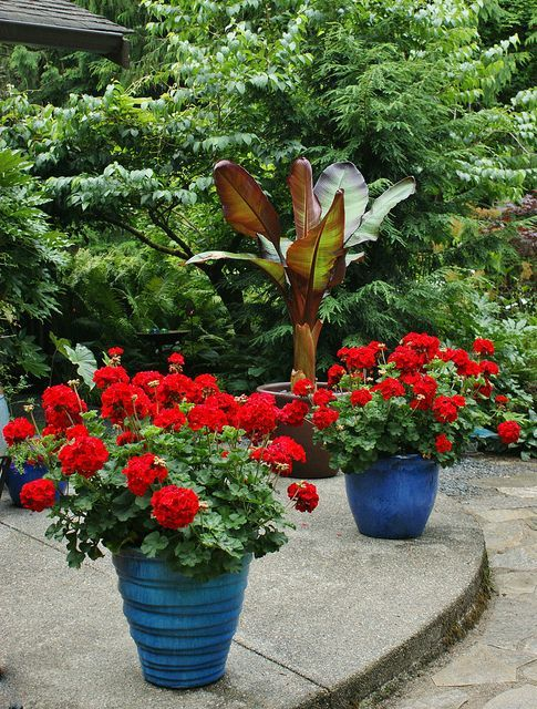 Red Pelargonium In Blue Pots Ensete Maurelii Flickr Photo Sharing Garden Containers Container Plants Plants