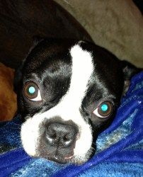 Max in Colo is an adoptable Boston Terrier Dog in Omaha, NE. Sponsor Me!!! My name is Max. I am 2 years old and weigh 22 pounds. I am needing a new home because I was adopted at a shelter and unfortun...