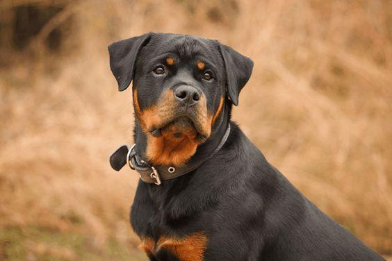 Tại Sieupet.com luôn có sẵn đàn Rottweiler chất lượng