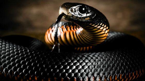 Mamba Snake Snake Wallpaper Black Mamba Snake Black mamba hd wallpaper