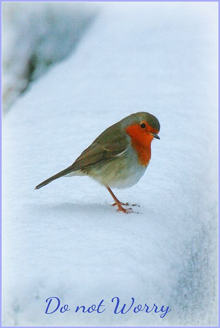 U.K Robin