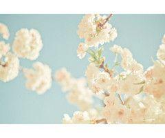 White Cherry blossoms!!